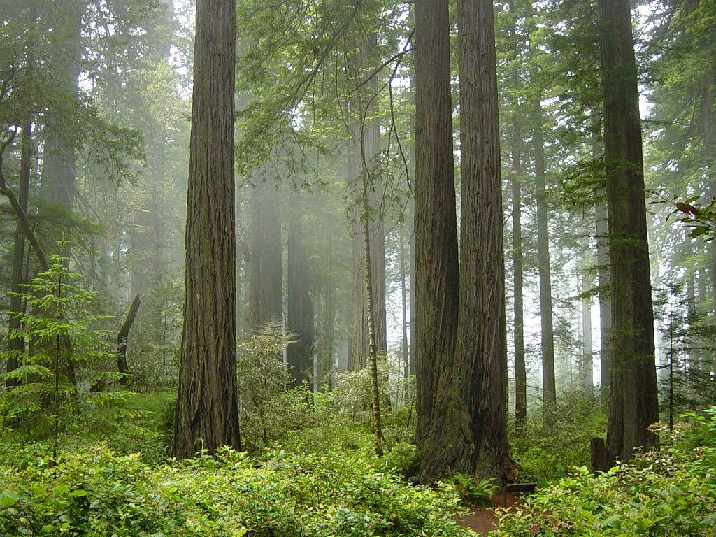 Обои сша, туман, национальный парк редвуд, калифорния. Природа foto 12