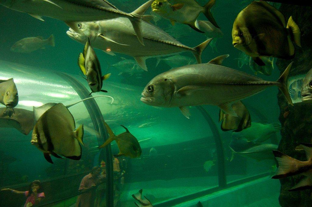 фото аквариум бурчи араб про индийских