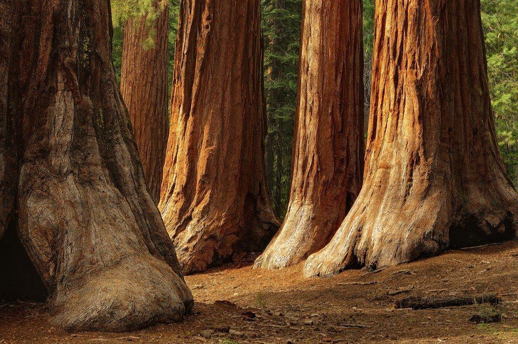 Послание гигантских Красных Деревьев горы Шаста человечеству  Natsionalnyy-park-sekvoyya_92