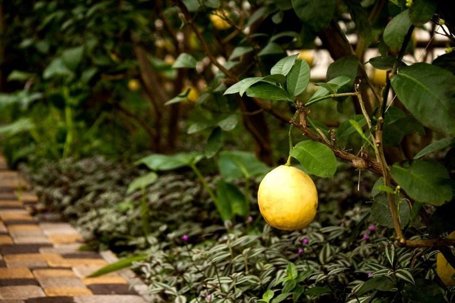 Картинки лимонарий саратов