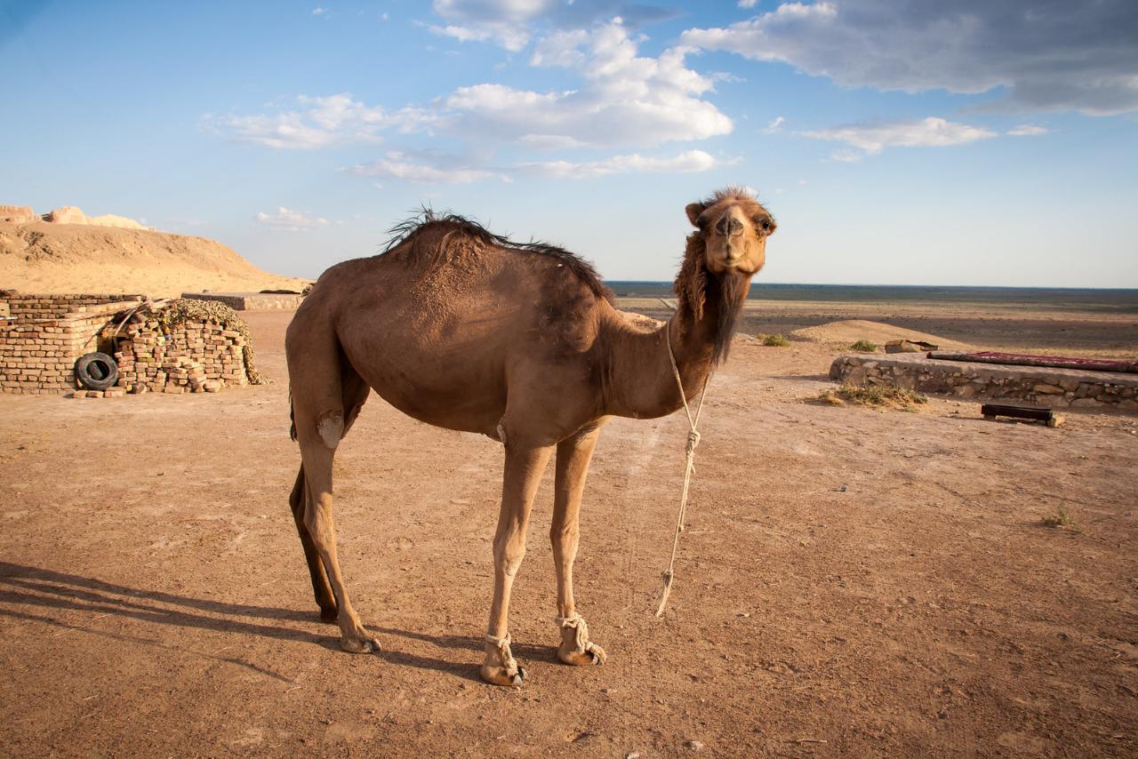 картина пустыня с верблюдом парки, санатории