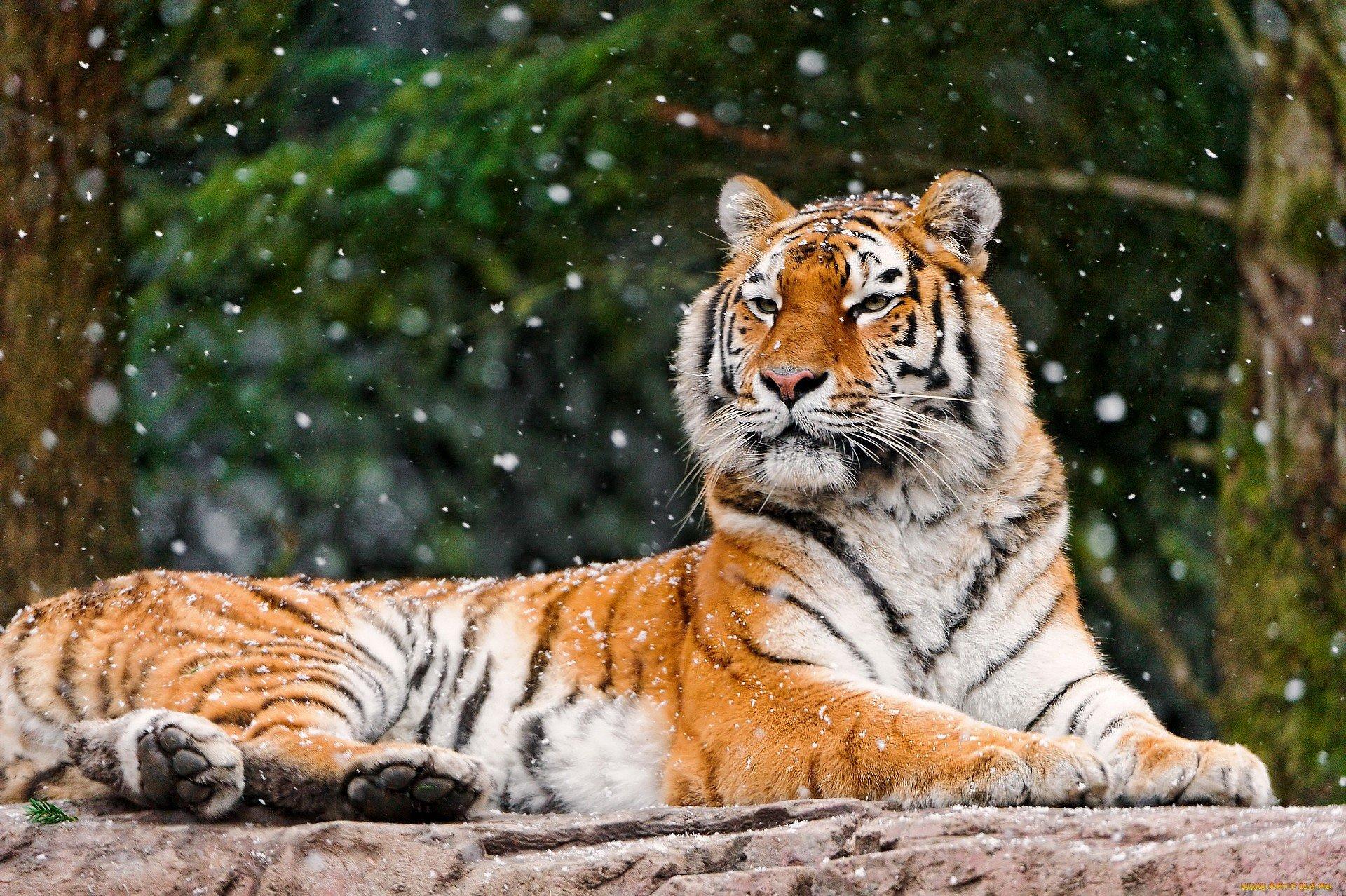 тигр лес бесплатно