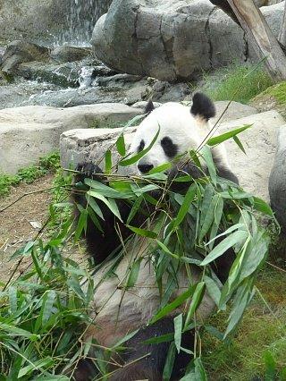 Панда из гонконгского зоопарка