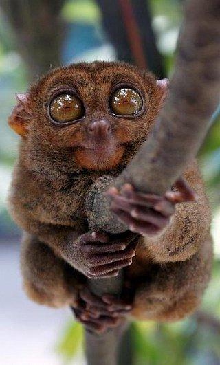 Долгопят — один из самых маленьких приматов в мире, обитает только в Юго-Восточной Азии, прежде всего на островах Суматра, Калимантан (Борнео), Сулавеси, на Филиппинах и многих прилегающих островах