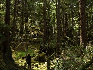 Густой лес на островах Королевы Шарлотты (Запад Канады)