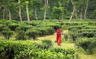 Чайная плантация в Бангладеш