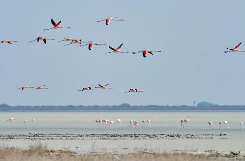 Фламинго на озере Лимассол