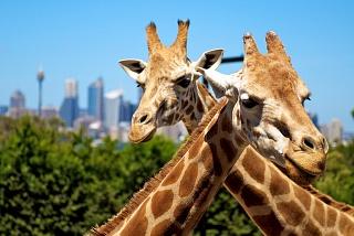 Жирафы в сиднейском зоопарке