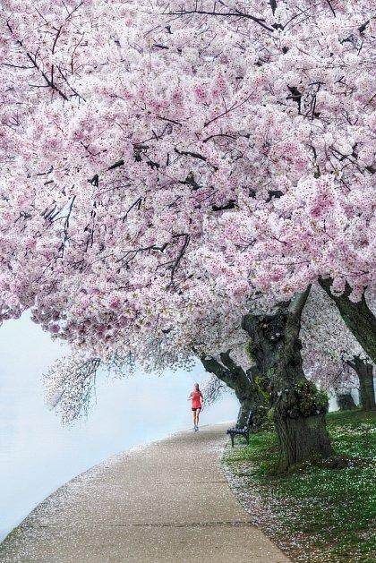 Фестиваль цветения вишни в Вашингтоне