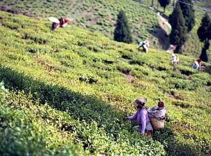 Чайные плантации Дарджилинга