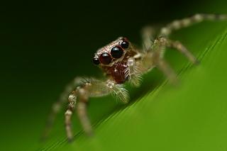 Прыгающий паук