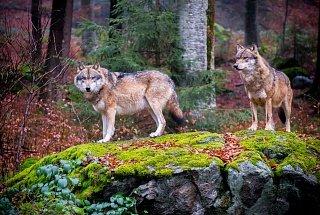 Волки в баварском лесу