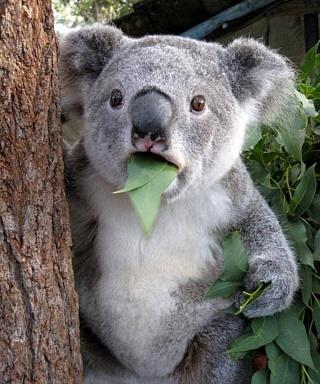 Коала с листом эвкалипта во рту