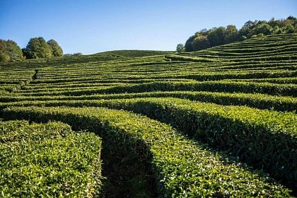 Чайная плантация под Дагомысом